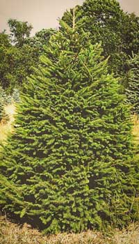 Norway-Spruce-thumb